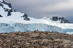 Colonia grande del pingüino de Gentoo al lado de un glaciar antártico fotos de archivo