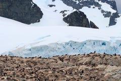 Colonia grande del pingüino de Gentoo al lado de un glaciar antártico foto de archivo libre de regalías