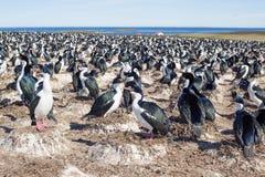 Colonia imperial con los pájaros de la jerarquización, Falkland Islands del cormorán Imagen de archivo libre de regalías