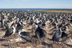 Colonia imperial de la pelusa del cormorán imperial, Falkland Islands Foto de archivo libre de regalías