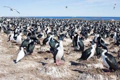 Colonia imperial de la pelusa del cormorán imperial, Falkland Islands Fotos de archivo libres de regalías