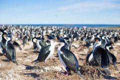Colonia imperiale dei cormorani (albiventer di phalacrocorax atriceps), Immagini Stock