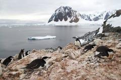 Colonia mezclada de pingüinos, de Gentoo y de Chinstrap de Adelie en la hormiga Imágenes de archivo libres de regalías