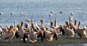 colonia Rosado-apoyada del pelícano en la bahía de Walvis, Namibia almacen de video