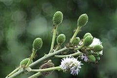 Colonia rossa delle formiche sulla pianta verde di mimosa pudica Fotografie Stock