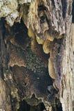 Colonia salvaje de la abeja dentro de un árbol viejo Fotografía de archivo