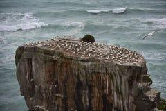 Colonia salvaje del gannet en la costa de Muriwai foto de archivo libre de regalías