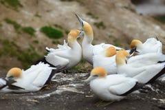 Colonia salvaje del gannet en la costa de Muriwai en Nueva Zelanda foto de archivo