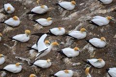 Colonia salvaje del gannet en la costa de Muriwai en Nueva Zelanda imagen de archivo