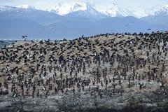 Colonia su un'isola a Ushuaia nel Manica del cane da lepre, Tierra Del Fuego, Argentina, Sudamerica di Cormorant Immagini Stock