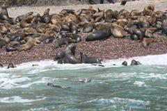 Colonia suramericana del león marino foto de archivo