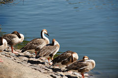 Colonia swan geese resting on the shore Royalty Free Stock Photography