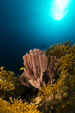 Colonial tube-sponge (siphonochalina siphonella) in the Red Sea. Stock Images