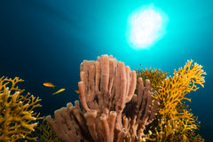 Colonial tube-sponge (siphonochalina siphonella) in the Red Sea. Stock Photo