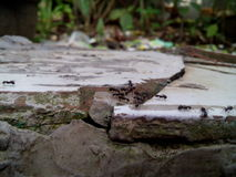 Colonias de la hormiga Fotografía de archivo