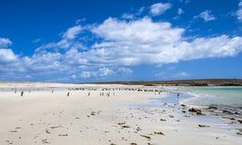 Colonias de los pingüinos de Gento en Falkland Islands Foto de archivo
