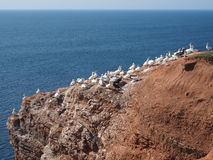 Colonie птицы на острове Helgoland Стоковое Фото