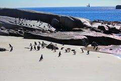 Colonie africaine de pingouin Image stock