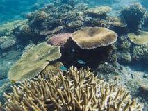 Colonie au néon de poissons en récif coralien Photo sous-marine d'habitants tropicaux de bord de la mer Images libres de droits