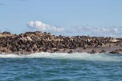 Colonie of Cape Fur Seals (Arctocephalus pusillus) Royalty Free Stock Photos