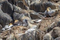 Colonie d'oiseau d'élevage de fou de Bassan Photographie stock libre de droits