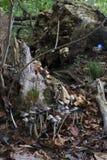 Colonie de champignon sur le tronçon photo libre de droits