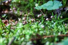 Colonie de champignons s'élevant de la mousse Image libre de droits