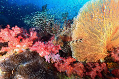 Colonie de corail molle, île de Similan photographie stock