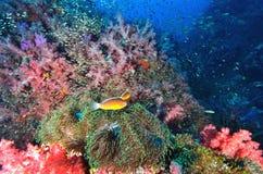 Colonie de corail molle avec des clownfish images libres de droits