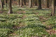 Colonie de croissance des bois 2 d'anémone au printemps Photographie stock