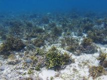 Colonie de Dascillus en récif coralien Photo sous-marine de bord de la mer tropical Images stock