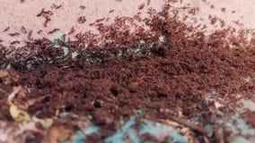 Colonie de fourmi dans la rue banque de vidéos