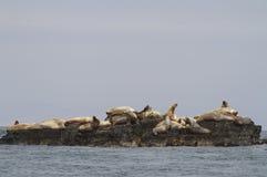 Colonie de freux d'otarie de Steller sur des falaises de l'île dans le Pacifique Images stock