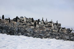 Colonie de freux de pingouin de jugulaire en Antarctique Photos stock