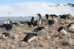 Colonie de freux de pingouin de jugulaire en Antarctique Photos libres de droits