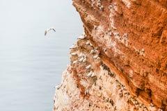 Colonie de freux de, fou de Bassan sauvage d'Atlantique nord aux falaises rouges dans Helgolan Images libres de droits