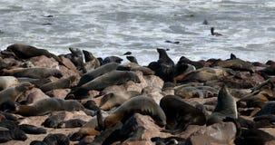 Colonie de joint de Brown dans la croix de cap, faune de l'Afrique, Namibie clips vidéos