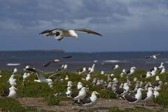 Colonie de mouette de varech - Falkland Islands Photographie stock
