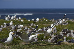Colonie de mouette de varech - Falkland Islands Images stock