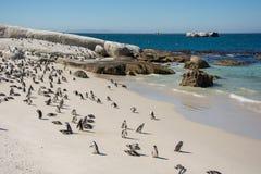 Colonie de penquin de rochers chez Simonstown Images libres de droits