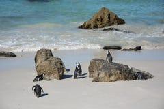 Colonie de penquin de rochers chez Simonstown Photos libres de droits
