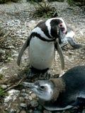 Colonie de pingouin à Rio Gallegos Photographie stock