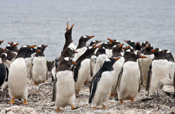 Colonie de pingouin de Gentoo - Malouines Photos libres de droits