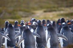 Colonie de pingouin de Gentoo (Pygoscelis Papouasie) dans les dunes de sable Photographie stock libre de droits