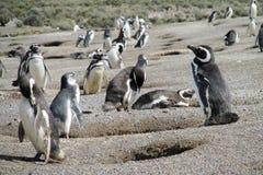 Colonie de pingouin de Magellan Photographie stock libre de droits