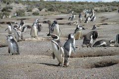 Colonie de pingouin de Magellanic dans Punta Tombo, Argentine Photos stock