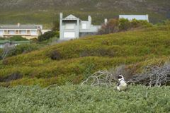 Colonie de pingouin de plage de rochers Photos stock