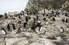 COLONIE DE PINGOUIN DE ROCKHOPPER image libre de droits