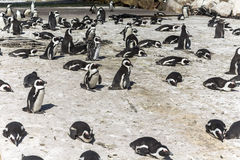 Colonie de pingouin en baie du ` s de Betty, Afrique du Sud photographie stock