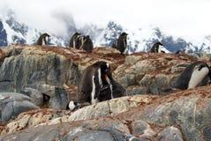 Colonie de pingouin de Gentoo sur une colline, avec des poussins Photo libre de droits